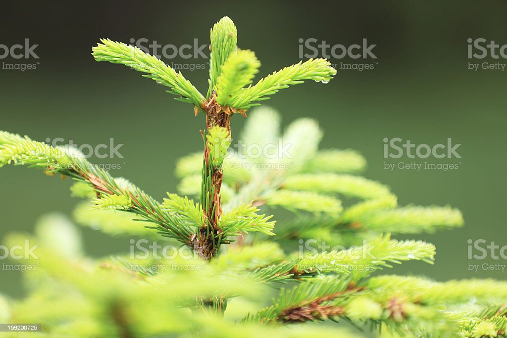Fresh Spruce Growth royalty-free stock photo