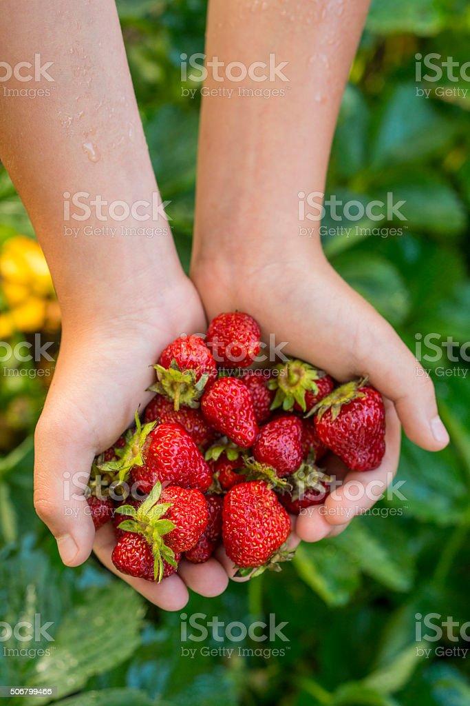Fresh Strawberries in child's hands stock photo