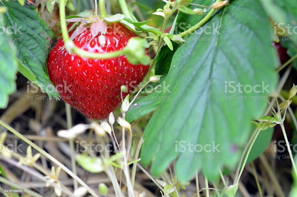 Fresh strawberries that are grown on a field stock photo
