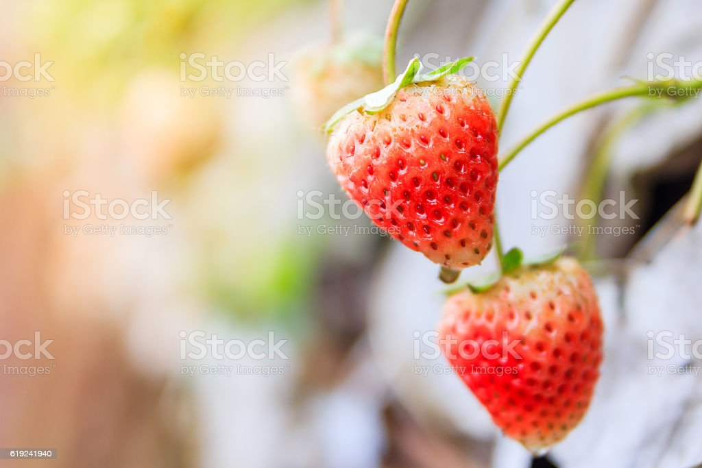 fresh strawberry with green leaves on seedbed in the plantation stock photo