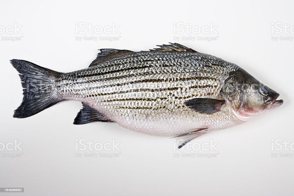 Fresh striped bass stock photo