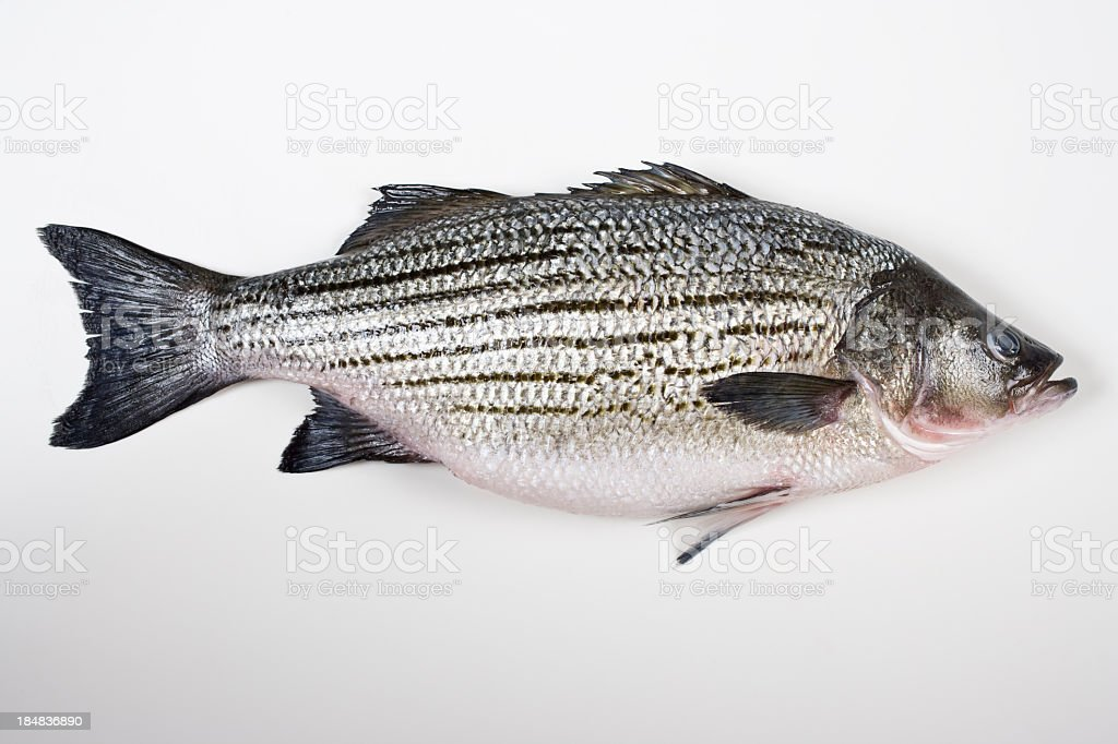 Fresh striped bass stock photo