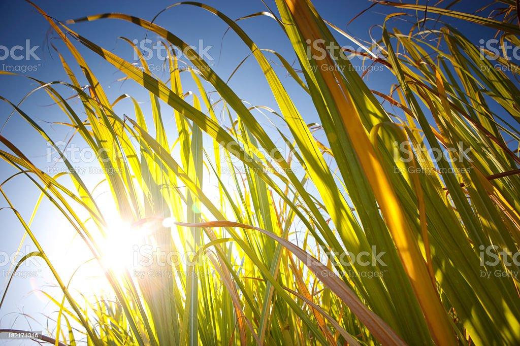 Fresh Sugar Cane stock photo