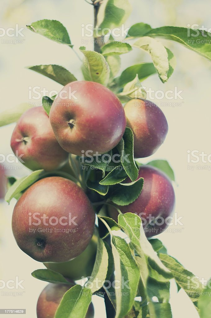 Fresh Summer Apples of the Tree royalty-free stock photo