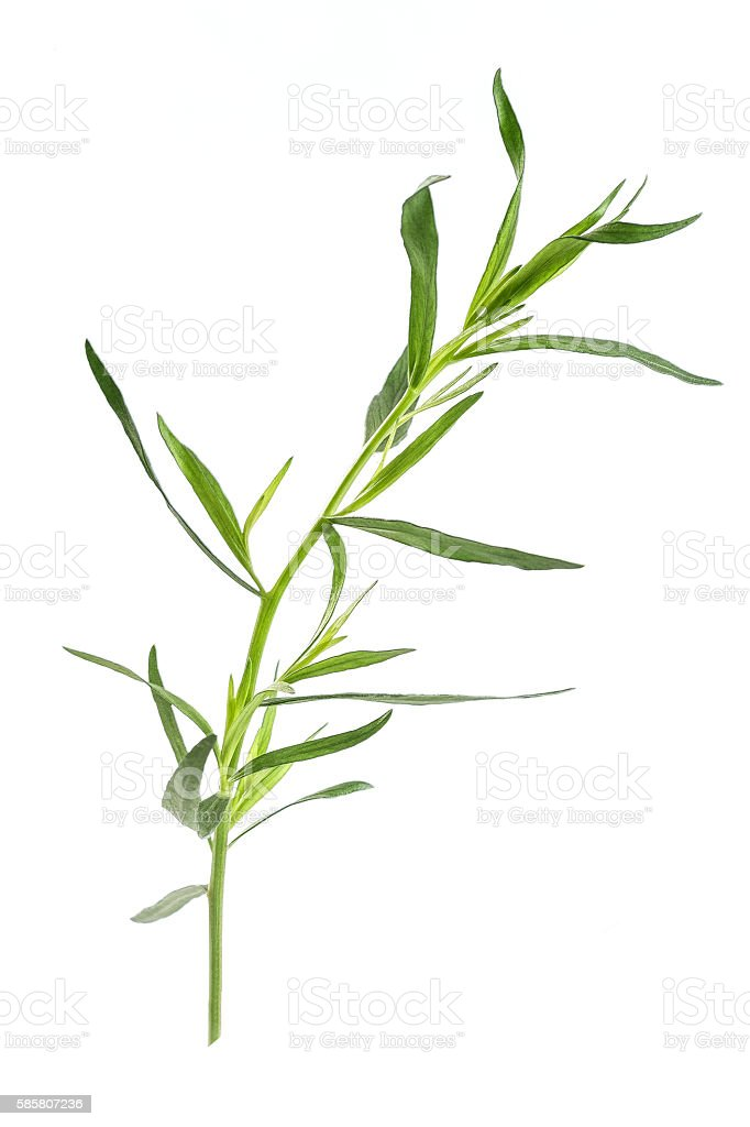 Fresh tarragon herbs,   close up isolated on white stock photo