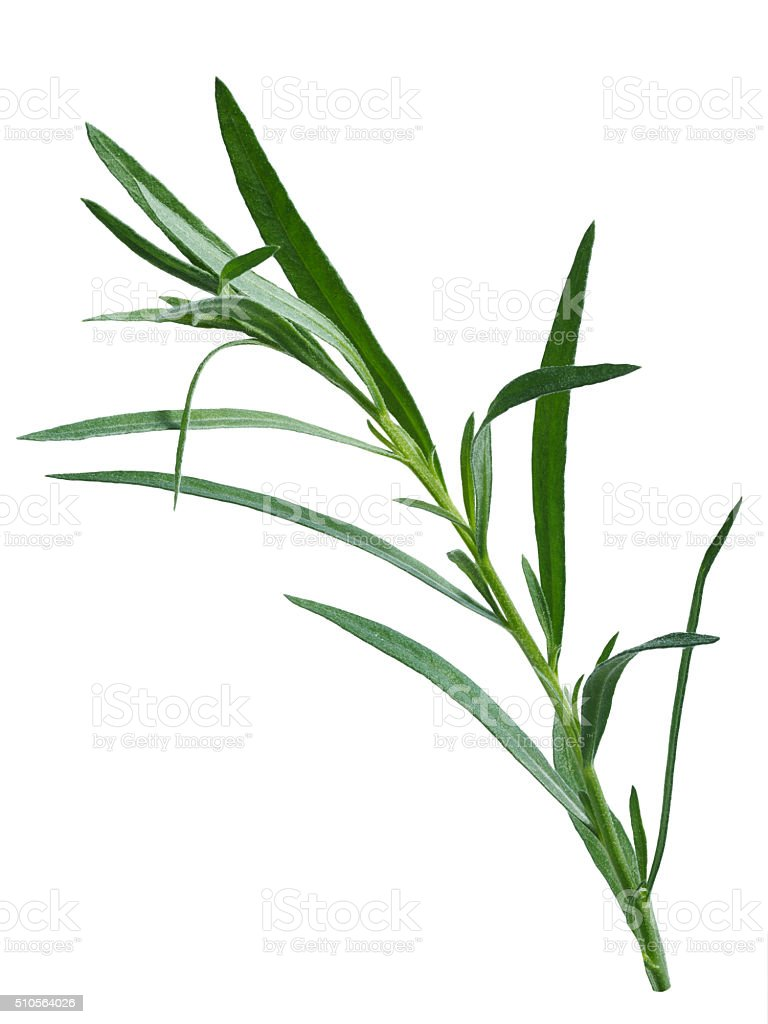 Fresh tarragon (Artemisia Dracunculus) stock photo