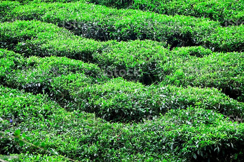 Fresh Tea Background royalty-free stock photo