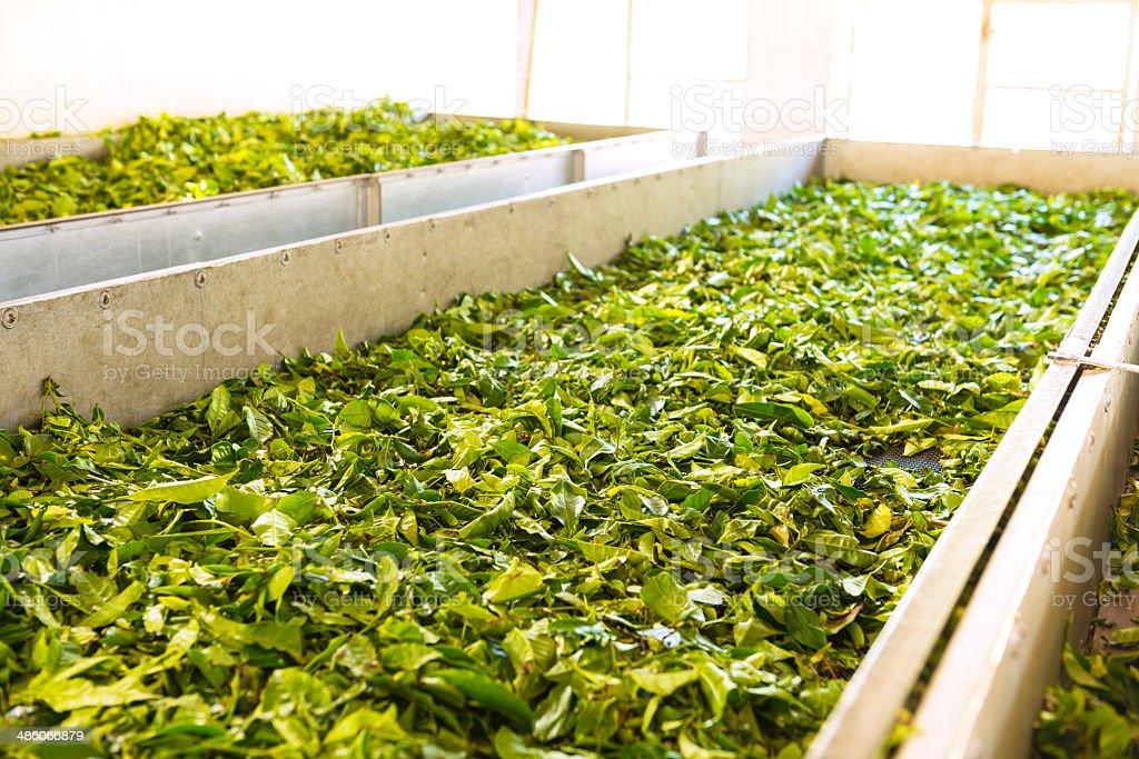 Fresh tea crop stock photo