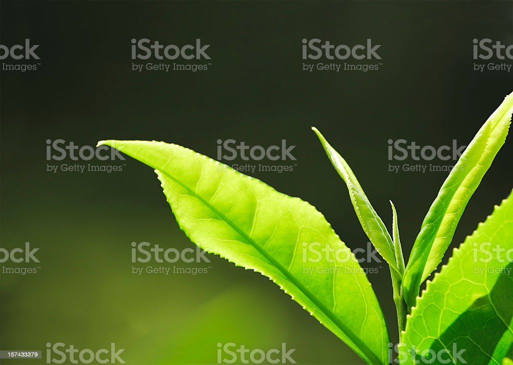 Fresh Tea Growth Macro stock photo