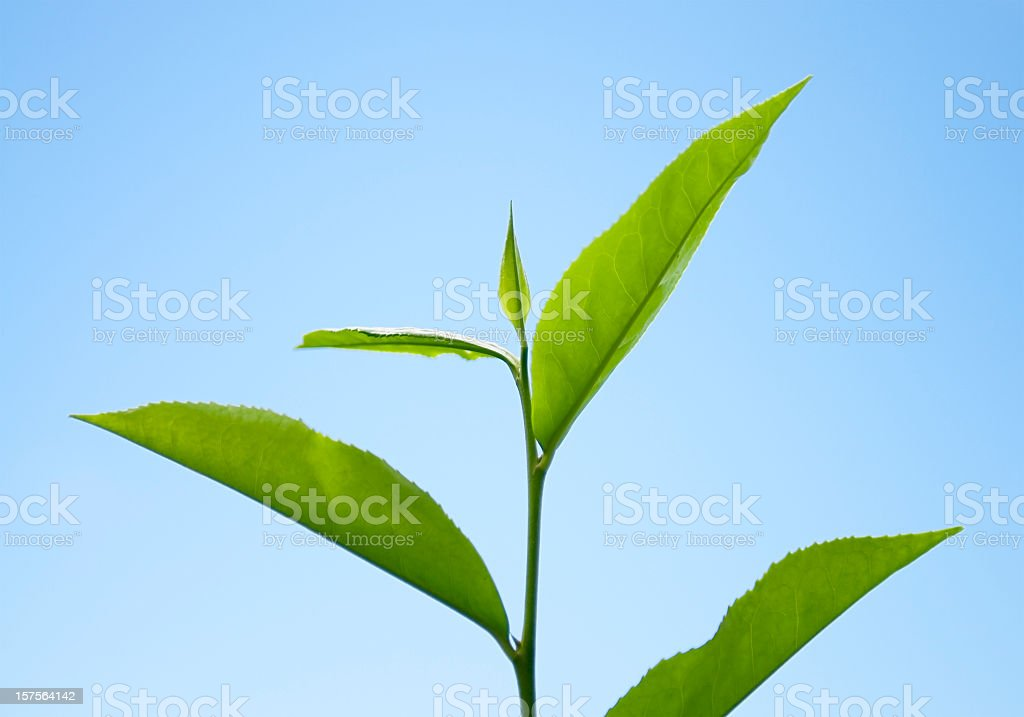Fresh Tea Growth royalty-free stock photo