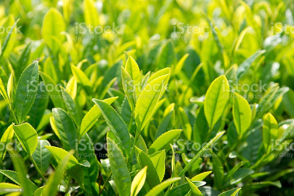 Fresh tea leaves. royalty-free stock photo