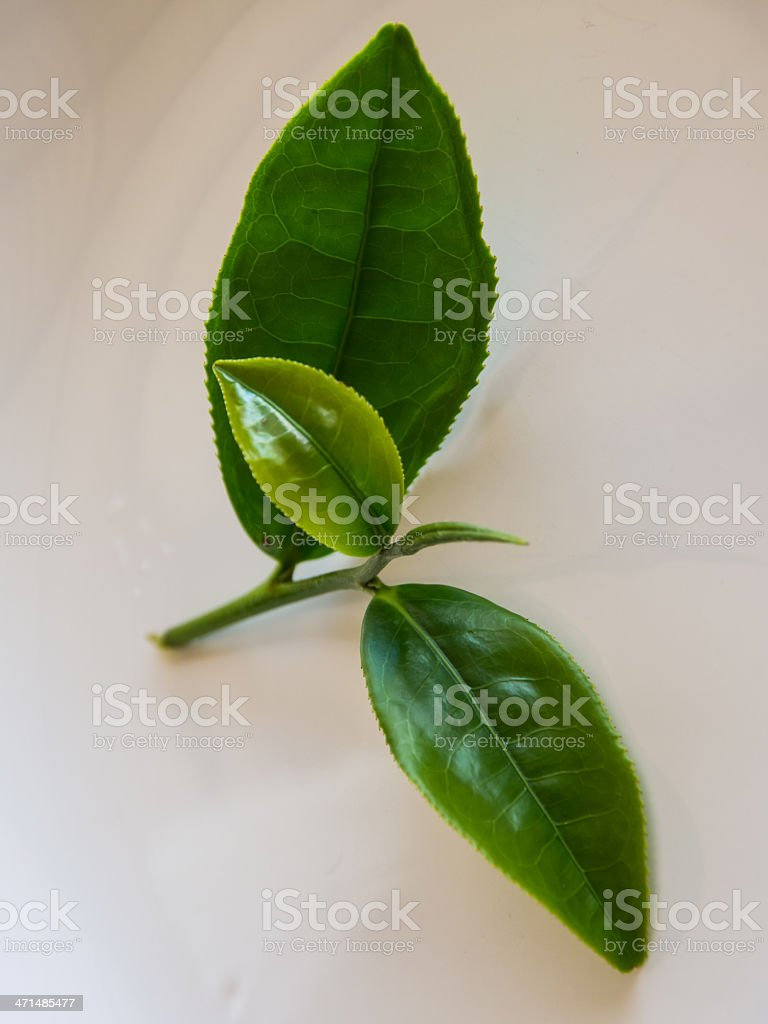 Fresh tea leaves royalty-free stock photo