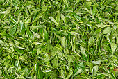 fresh tea leaves