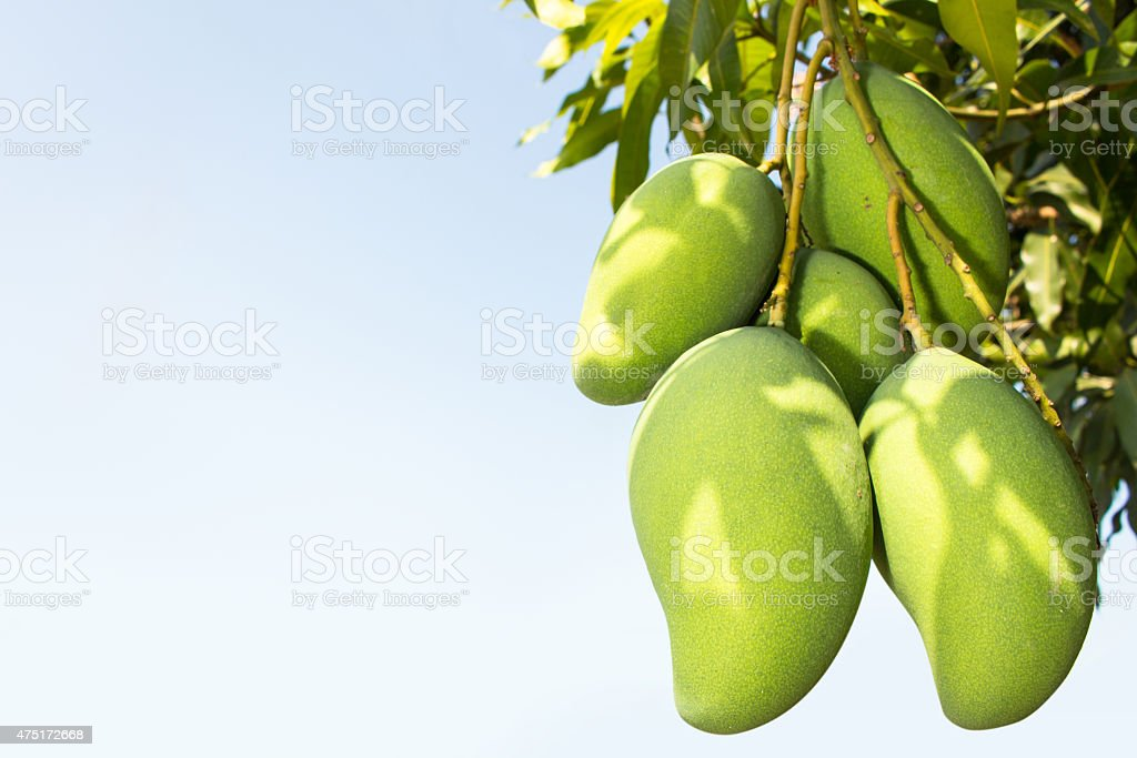 fresh thai mangoes in garden with blue sky background stock photo