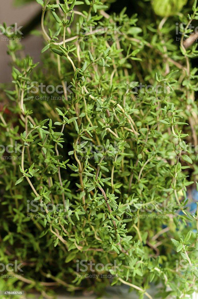 fresh thyme royalty-free stock photo