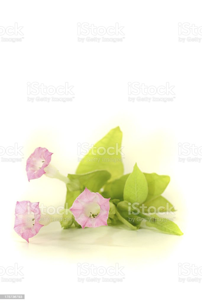 fresh tobacco plant royalty-free stock photo