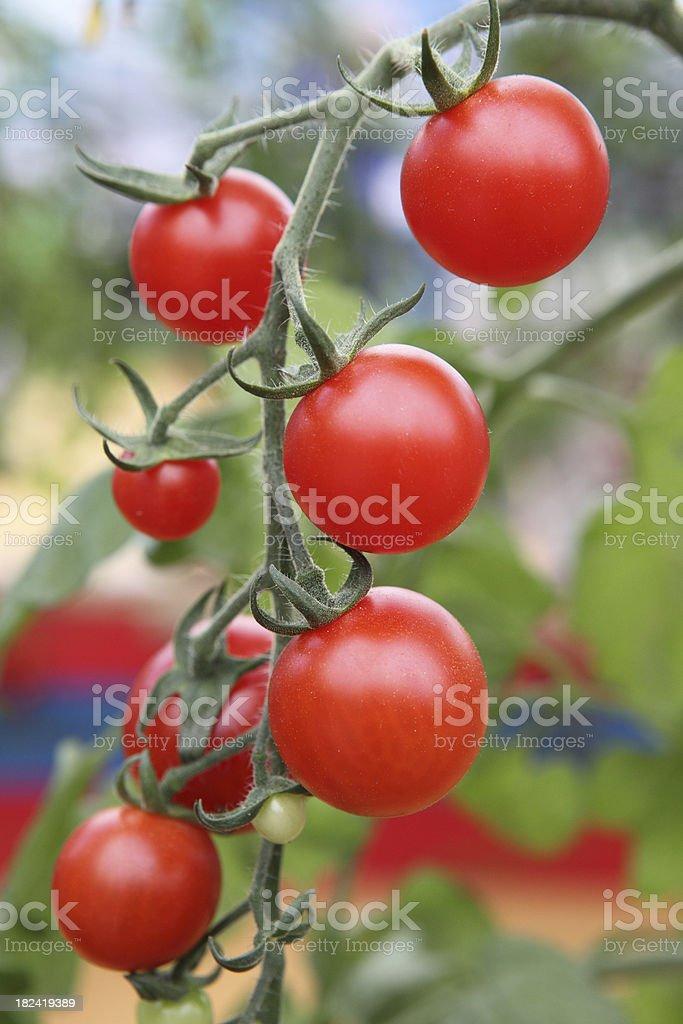 Fresh tomato royalty-free stock photo