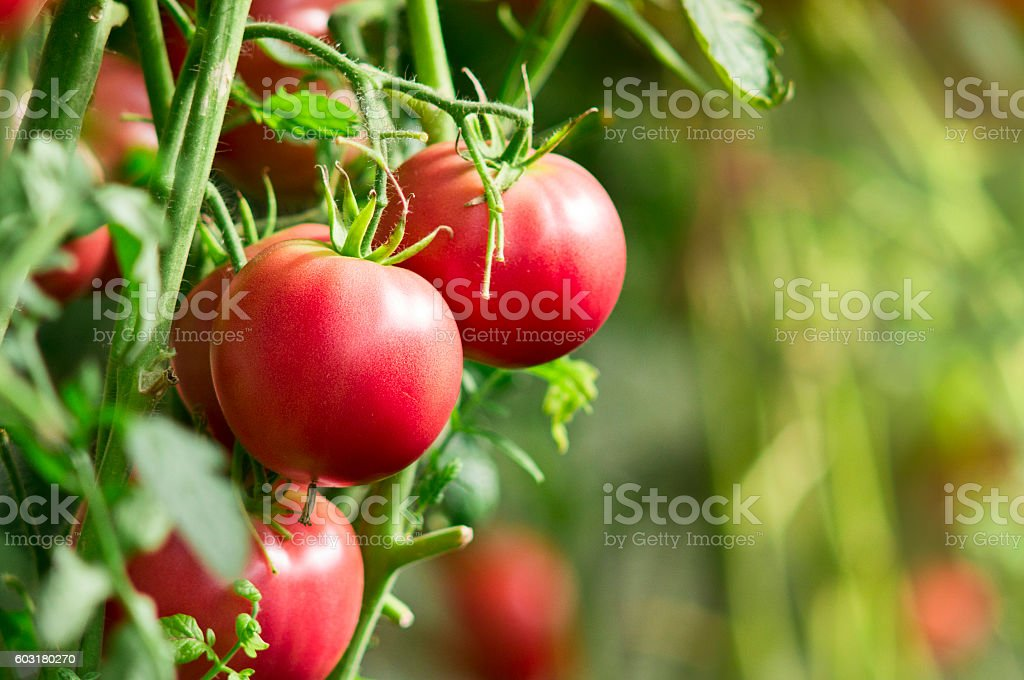 Fresh tomatoes in garden stock photo