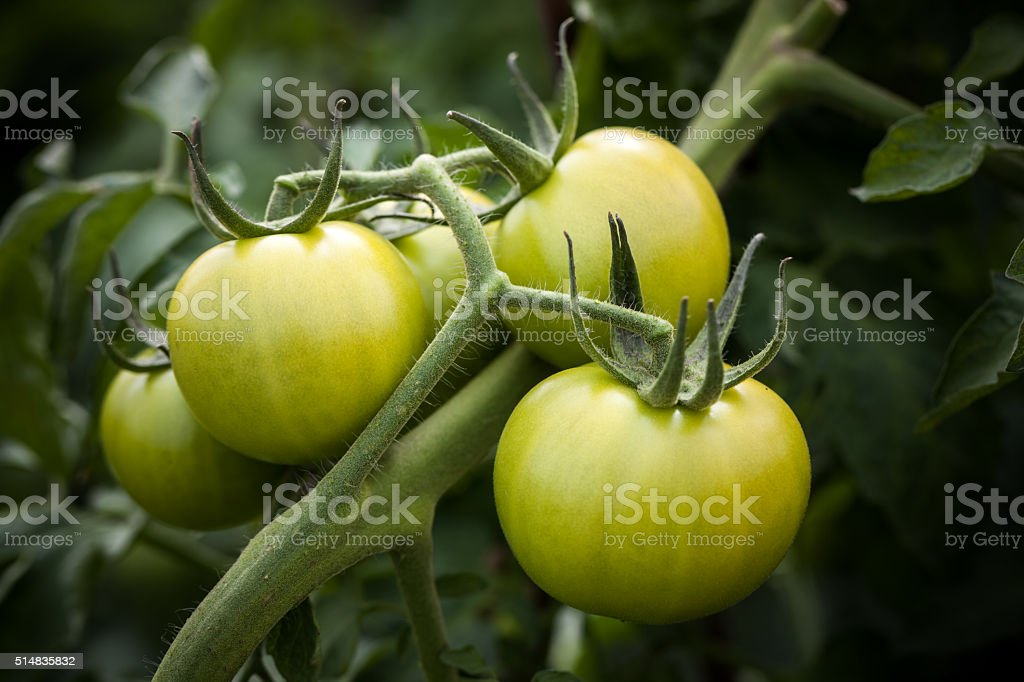 Fresh tomatoes in greenhouse stock photo