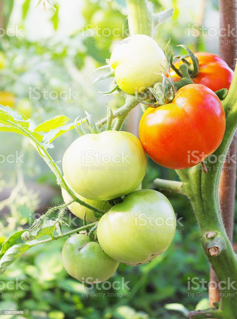 fresh Tomatoes in the garden ,Plant selective focus stock photo