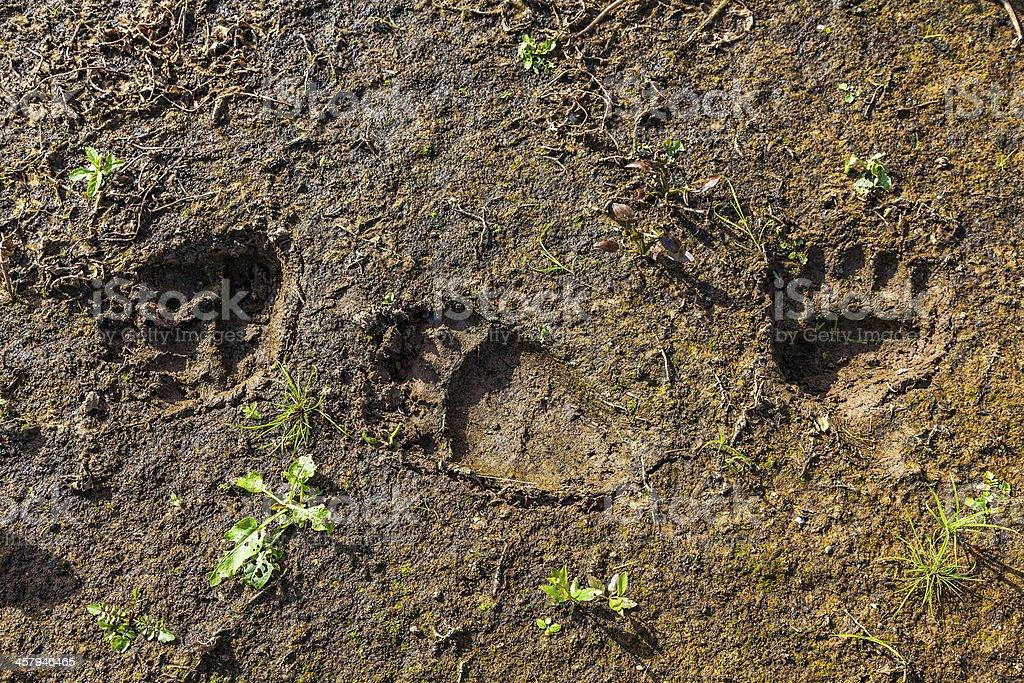 Fresh tracks of a wild bear stock photo