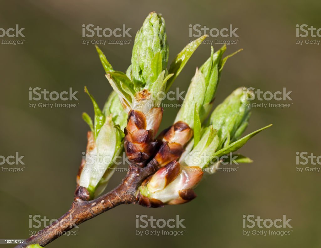 Fresh tree buds in spring time. A new beginning royalty-free stock photo