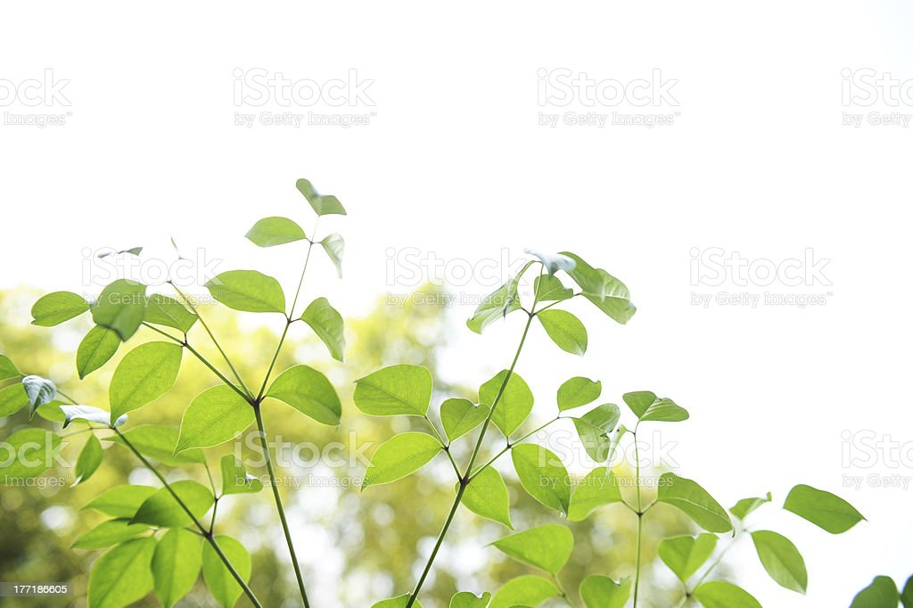 Fresh Tree Leaves royalty-free stock photo