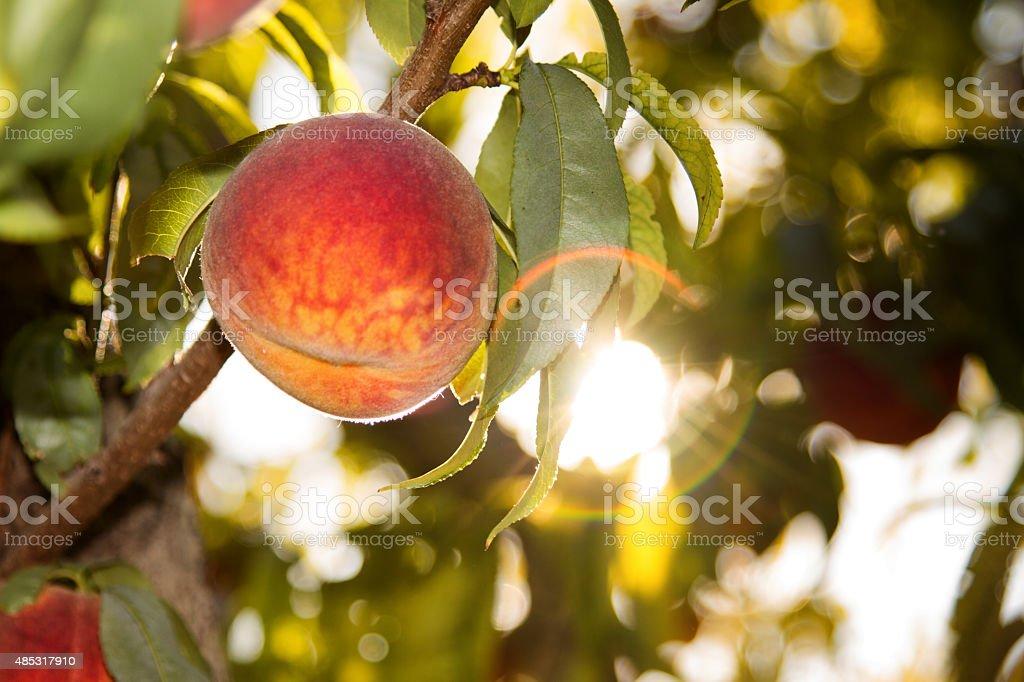 Fresh Tree Ripened Peach Ready to Pick stock photo