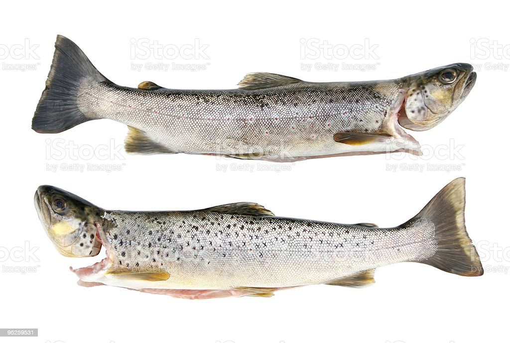 fresh trout royalty-free stock photo