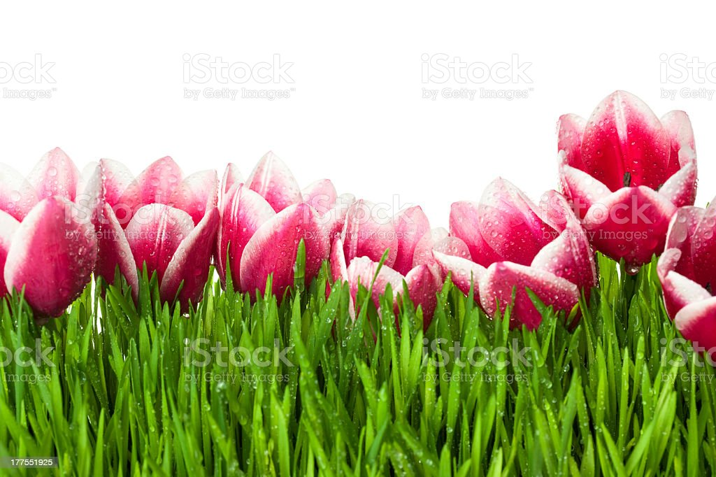 Fresh Tulip and green Grass with drops dew / isolated royalty-free stock photo