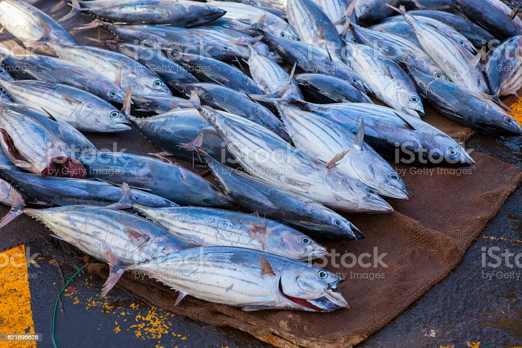 Fresh tuna fishes in the fishing harbour stock photo