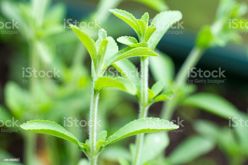 Fresh twigs at a Stevia (Rebaudiana) plant stock photo