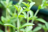 Fresh twigs at a Stevia (Rebaudiana) plant
