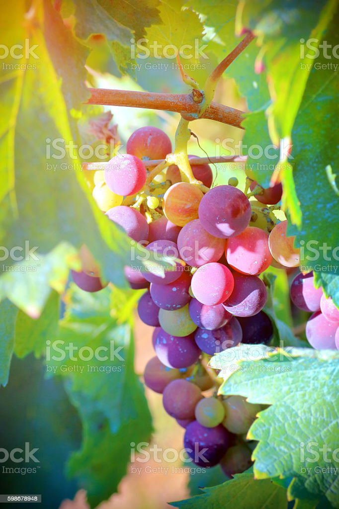 Fresh unripe grapes on vine close-up under sunlight in summer stock photo