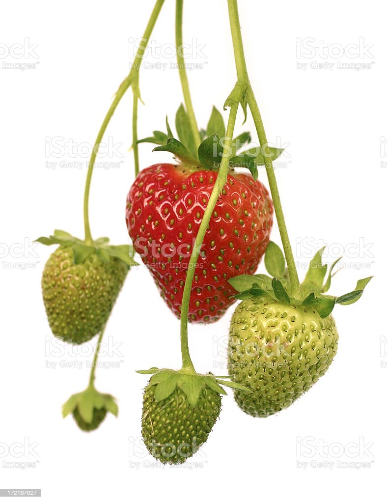 Fresh Untouched Strawberries on an Isolated Background stock photo