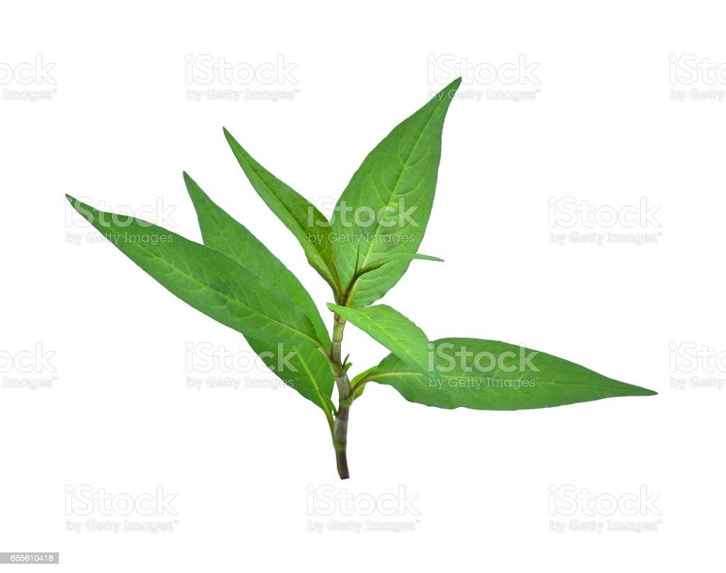fresh vietnamese mint leaves isolated on white background stock photo