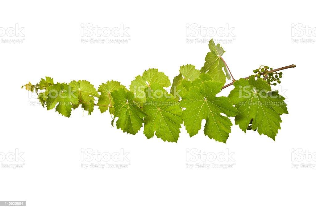 Fresh vine branch isolated on white background stock photo