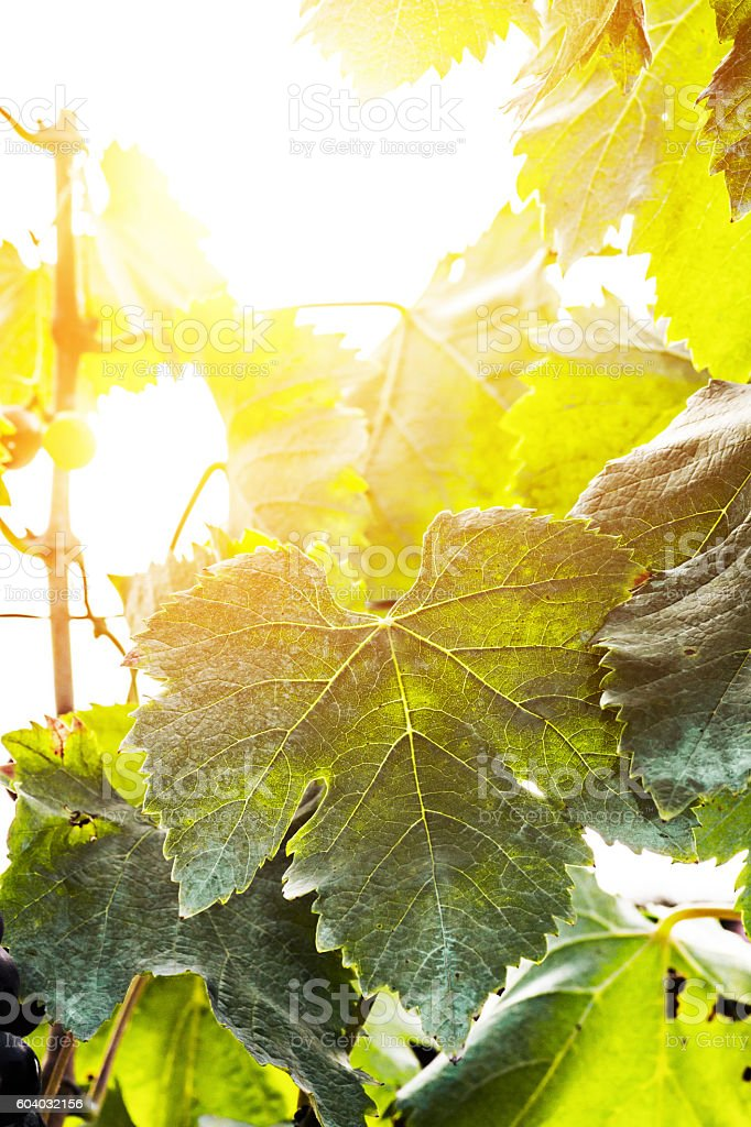Fresh vine grape green leaf under sunlight in french vineyard stock photo