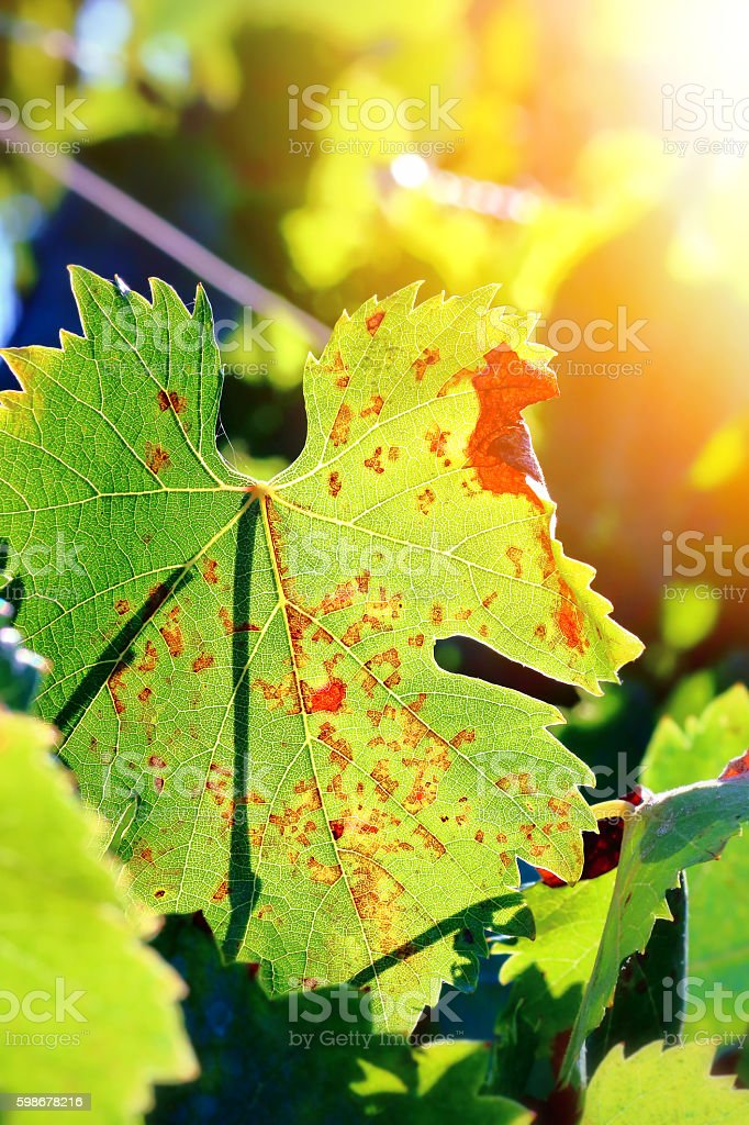 Fresh vine grape green leaf with red markings under sunlight stock photo