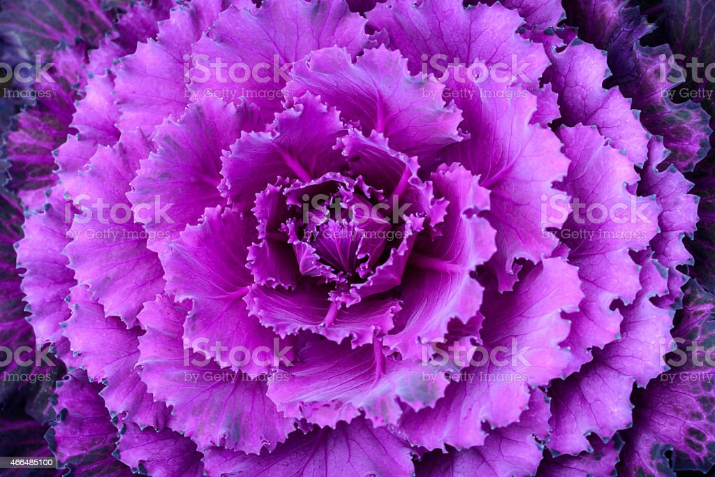 Fresh violet cabbage in the garden. stock photo