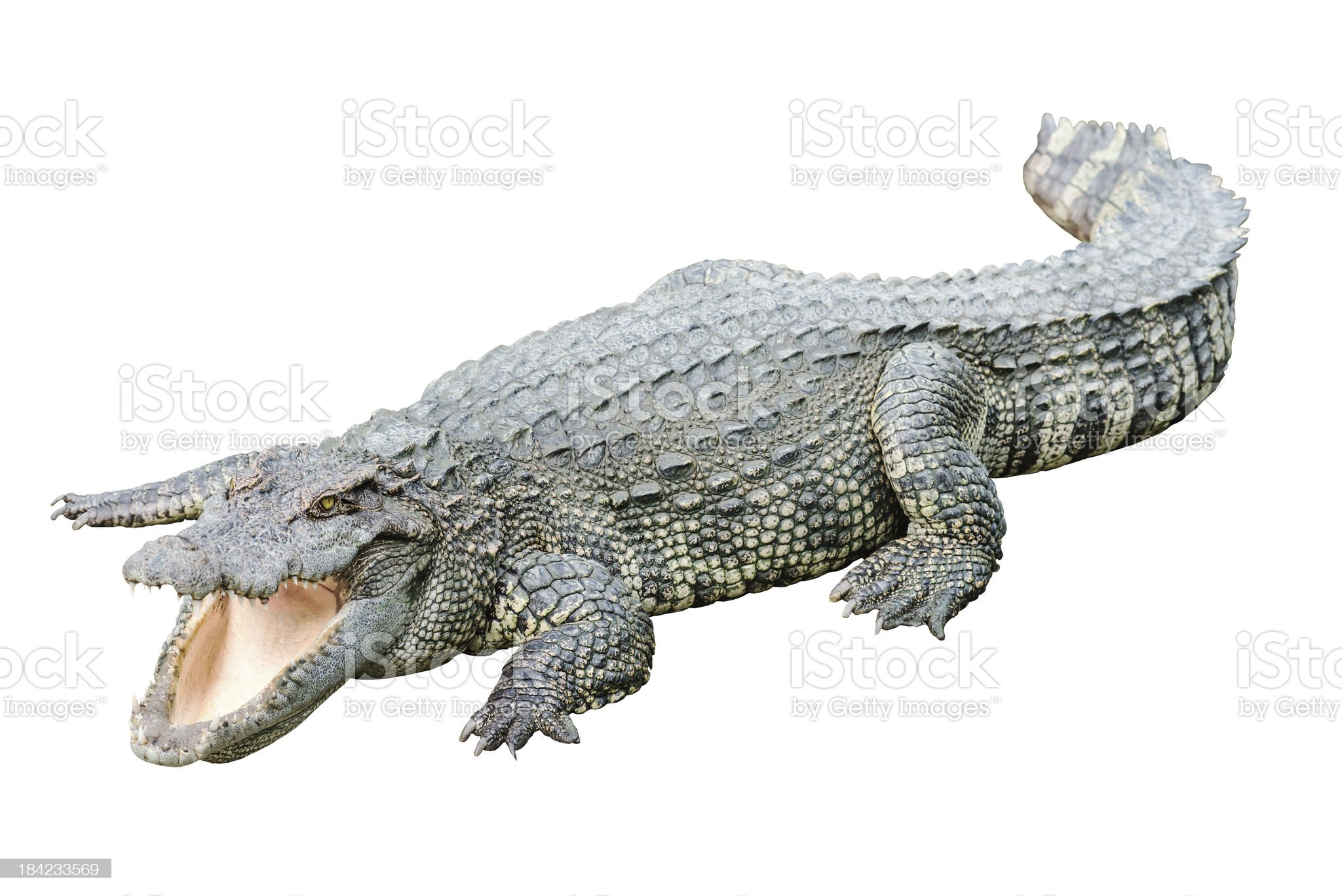 Fresh water adult crocodile from Thailand royalty-free stock photo