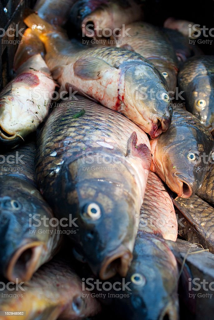 fresh water carp fish gasping for the air royalty-free stock photo