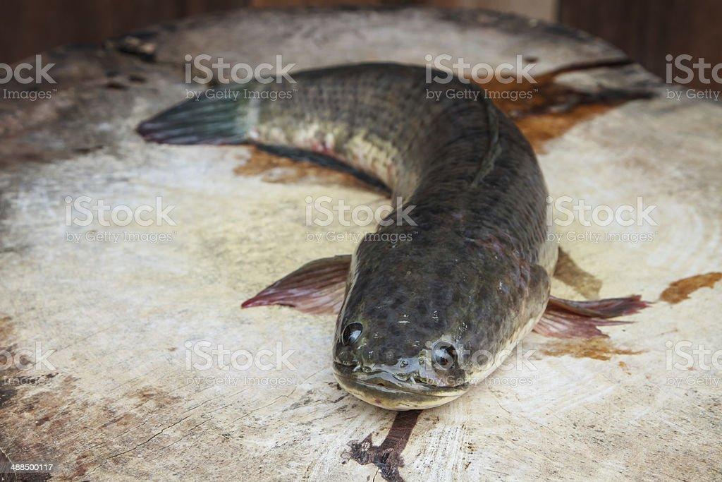 Fresh water fish stock photo