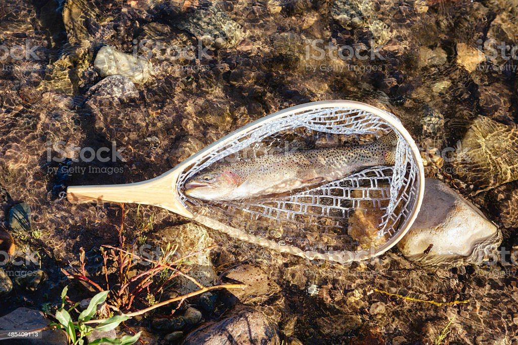 Fresh water rainbow trout fish in net royalty-free stock photo
