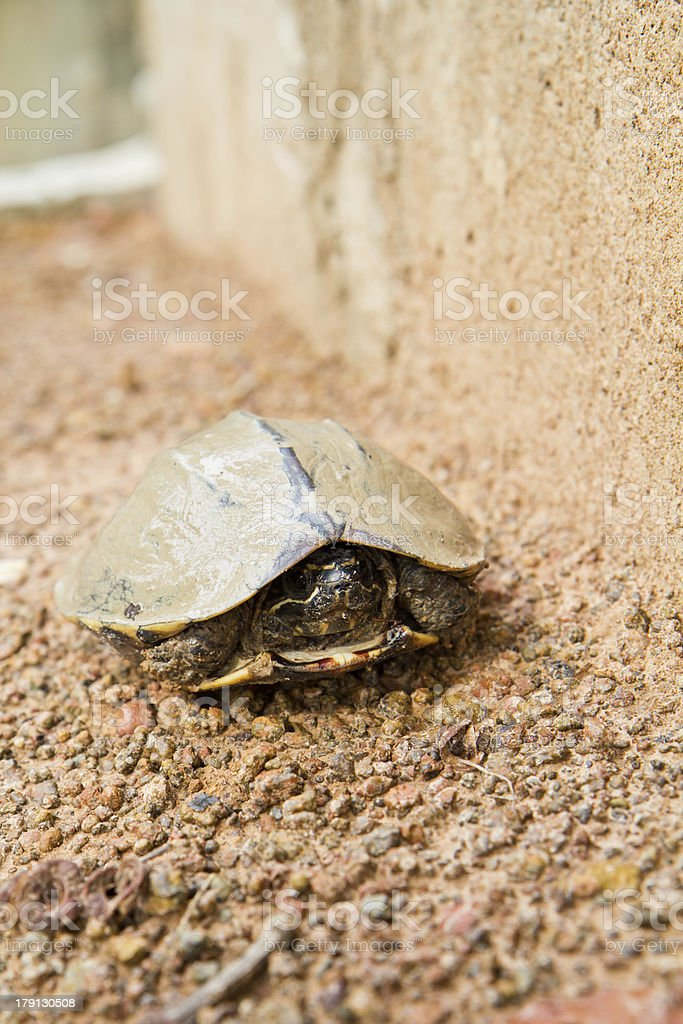 fresh water turtle dirty royalty-free stock photo