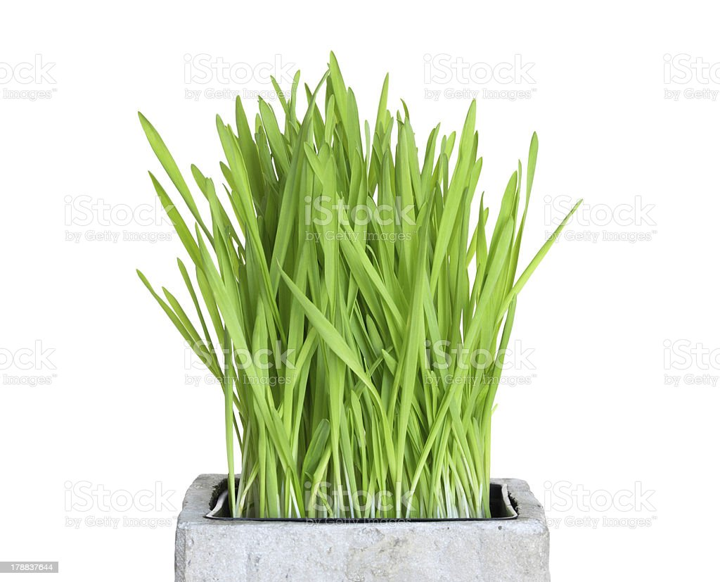 Fresh wheatgrass in square pot stock photo