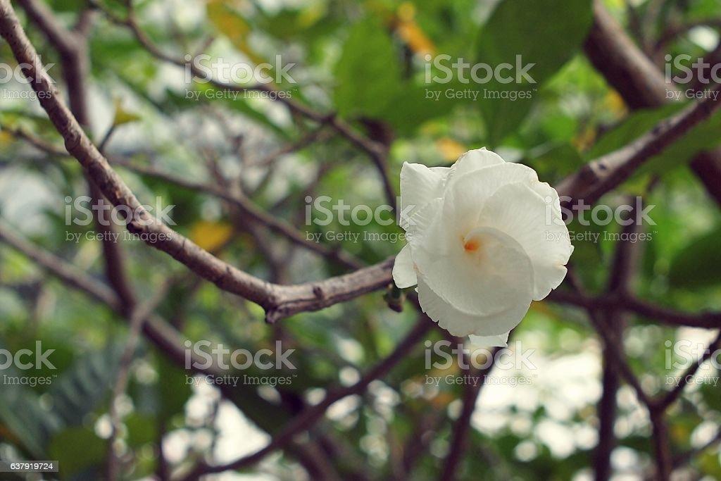 Fresh White flower Gardenia jasminoides Cape jasmine