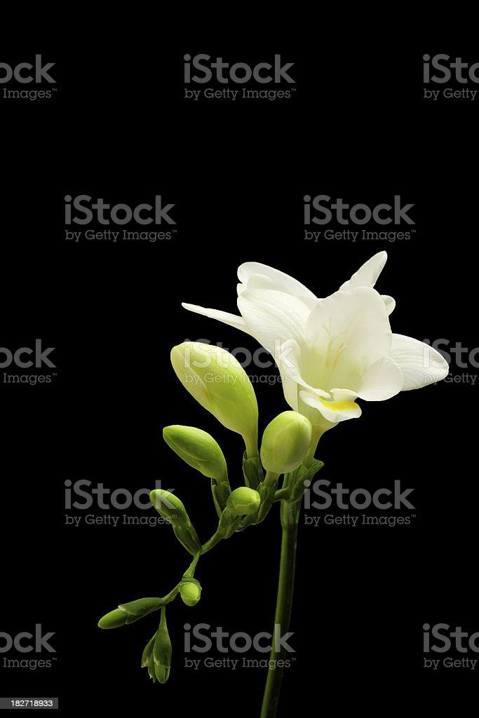 Fresh White Freesia, Flower, Isolated On Black royalty-free stock photo