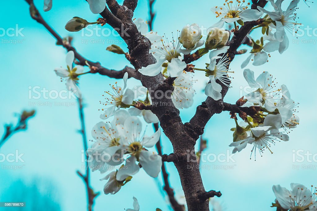 Fresh white spring blossom on a tree branch stock photo