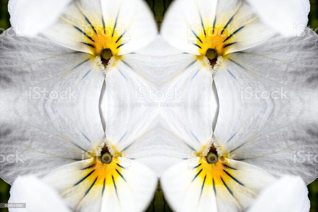 Fresh white wild pansy flower surreal shaped symmetrical kaleidoscope stock photo